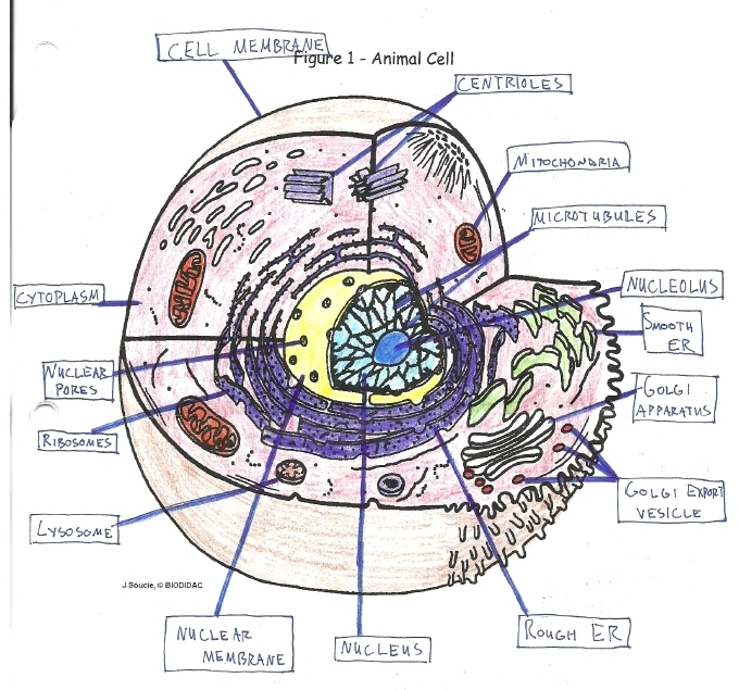 Animal Cell Diagram Colored And Labeled : J Soucie Biodidac myideasbedroom.com